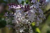 丁香花有什么品种,盘点10种最美丁香