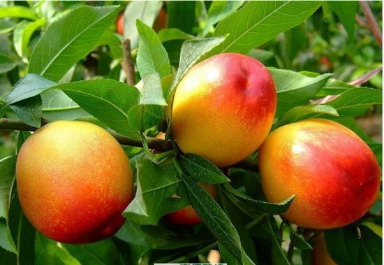 油桃品种:各品种的详细介绍图文
