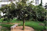 白蜡树一年可长多粗,播种种植一年长