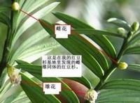 红豆杉雌雄株怎样分辨,五个妙招教你