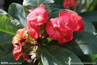 大花铁海棠图片