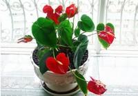 红掌一年开几次花,红掌一年四季都开花吗(四季开花)