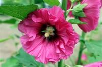 芙蓉花的功效与作用,可清热解毒和消