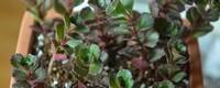 小球玫瑰养殖方法