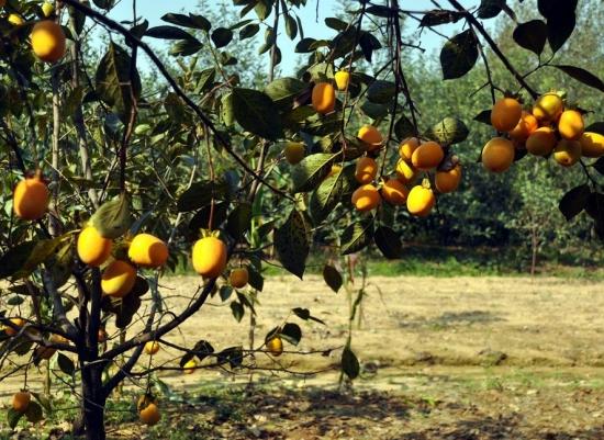柿子树的种植方法:喜温暖,阳光充足的