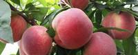 桃子里面的虫子可以吃吗