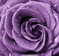 紫玫瑰花图片大全