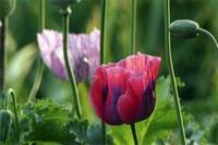 十大黑暗之花,盘点10中凄美寓意之花