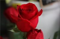十大最贵的玫瑰花图片