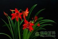 [朱顶红花期]朱顶红什么时候开花√植物花期√植物百科