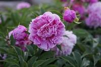 芍药花如何延长花期,适当浇水和施肥