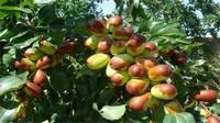 枣核能种出枣树吗