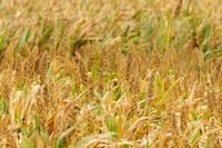 小米什么时候成熟,夏季或秋季收获