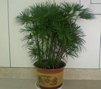 棕竹怎么养:忌狂风烈日