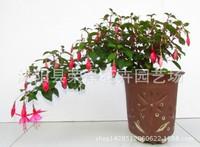 吊钟花盆栽图片