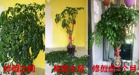 幸福树怎么修剪,幸福树的修剪方法图解