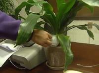 淘米水怎么浇花:用淘米水浇花之前要