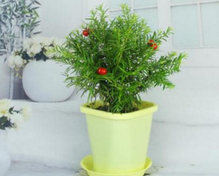 红豆杉可以放在卧室吗,放在卧室风水不好会招厄运