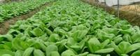 蔬菜种植技术大全