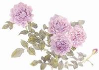 蔷薇花图片手绘
