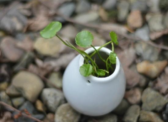 养殖铜钱草茂盛的技巧:分别从土、盆