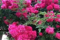 甜蜜红木香种植和养护,老花匠教你养