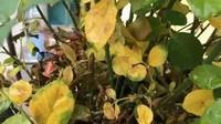 月季花叶子发黄的原因