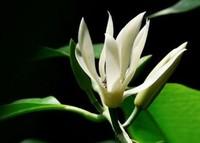 白兰花的养殖方法和注意事项有哪些- 花百科