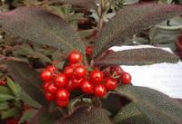 虎舌红怎么养长得好,5招养的虎舌红叶大果多/水肥是关键