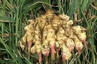 什么土质适合种姜,沙壤土可促进根系