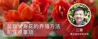 盆栽长寿花的养殖方法和注意事项