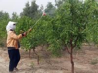 如何管理枣树:枣树的正确管理方法详