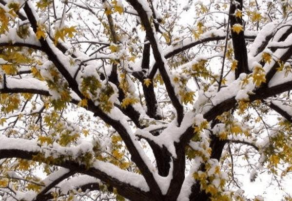 鸡爪槭是常绿还是落叶?你知道鸡爪槭是什么乔木吗?