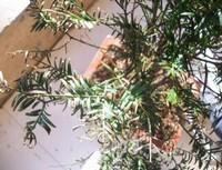 红豆杉叶子干枯怎么办,六种方法教你