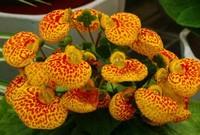 荷包花的功效与作用,花型奇特观赏性