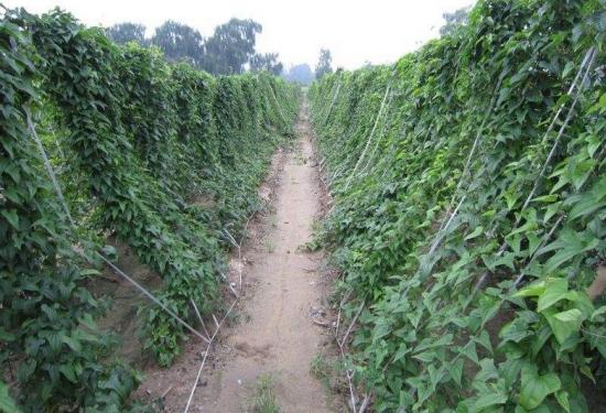 山药豆怎么种:山药是无性繁殖的,很多