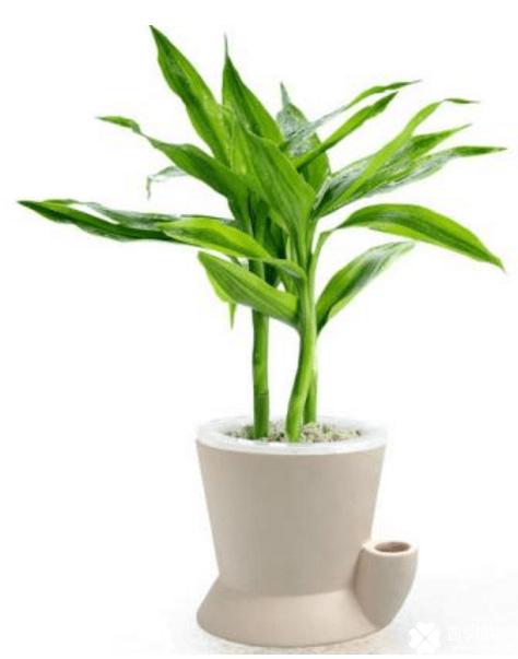 富贵竹冬天怎么养不会死呢?原来是用