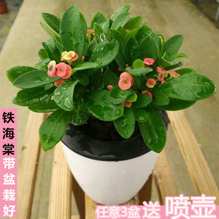 琴叶榕的花图片