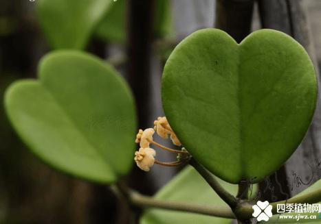 心叶球兰的花语是什么?心叶球兰花语