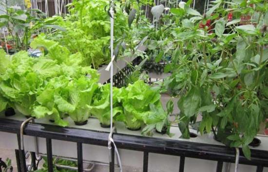 水培蔬菜怎么种植:蔬菜幼苗定植后只
