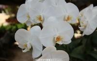 白色蝴蝶兰花图片