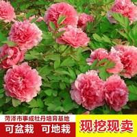 盆栽四季牡丹花图片