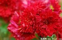 红菊花的花语