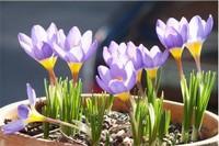 藏红花盆栽如何种植,6个步骤种植藏