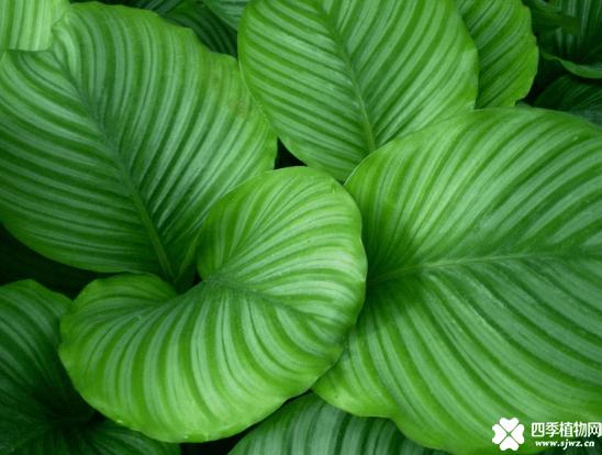青苹果竹芋的养殖方法和注意事项介