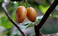 黄皮果怎么吃,教你吃黄皮果的四种方