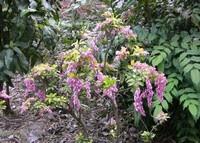 马醉木怎么繁殖,马醉木的繁殖方法(播种和扦插)