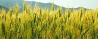 适合冬天播种的农作物