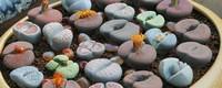 最便宜的石生花是哪种