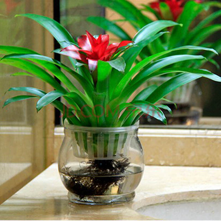 铁兰花盆栽图片